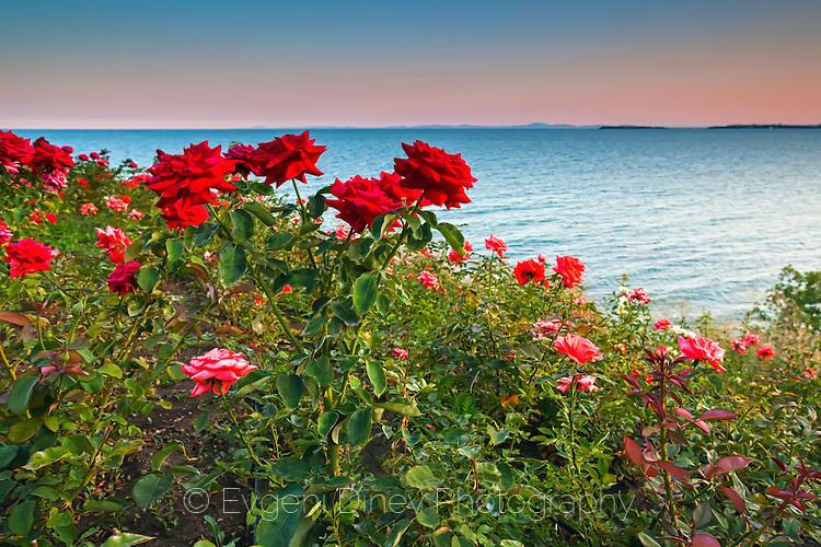 Рози край морето