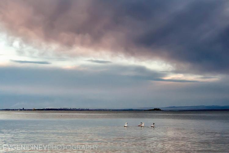 Лебеди в зимно море