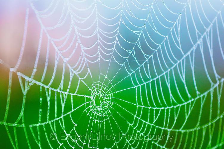 Росна паяжина