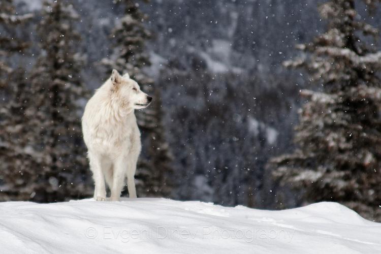 Рилско куче