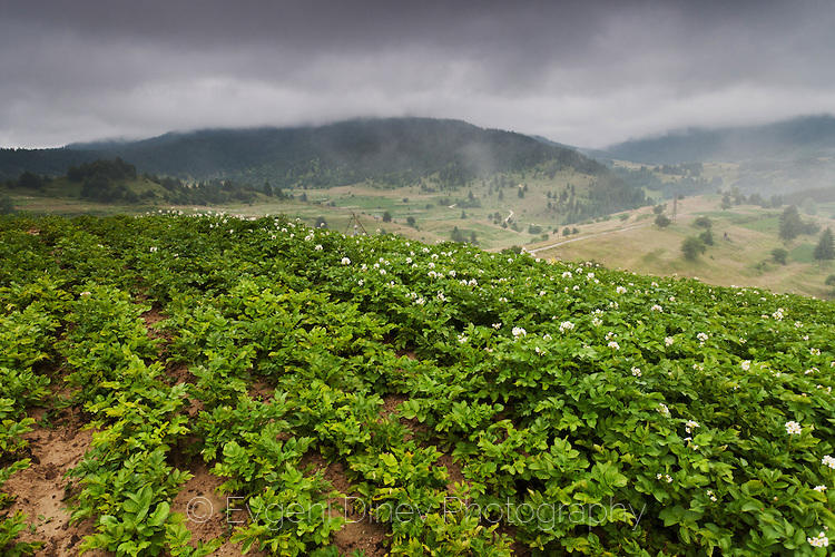 Картофена нива