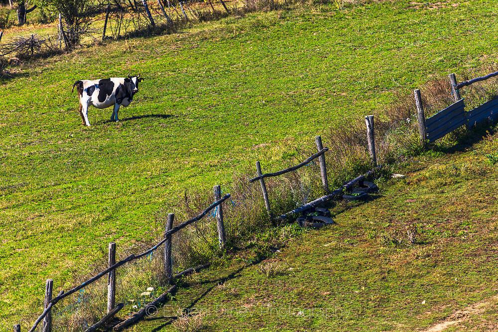 Крава в Жеравна